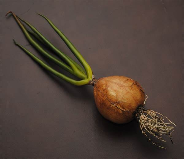 Onion with Stem & Root
